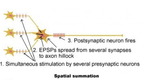 spatial summation
